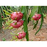 9GreenBox - Dragon Fruit Juicy Sweet Fragrant Flower FRUITING SIZE