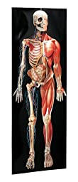 Dimensional Man Anatomical Chart