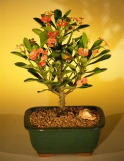 Bonsai Boy's Flowering Crown of Thorns Bonsai Tree - Pink Red euphorbia milii