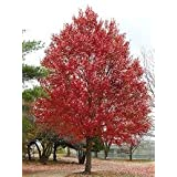 (1 Gallon) RED MAPLE tree- Beautiful Red Foliage,Features For Every Season. Fast-growing and Very Tolerant of a Variety of Soils. Bare-root,