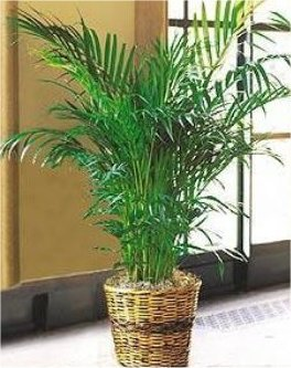 Kosher Gift Basket – Palm Leaf Plant (Israel)