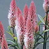 "(ACEL)~""FLAMINGO PINK"" CELOSIA~Seed!~~~~~~~~~~~~Great Everlasting Blooms!"