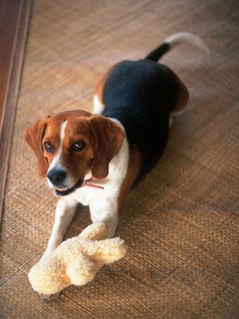 Beagle Dog with His Stuffed Animal Stretched Canvas Poster Print by Lonnie Duka, 12x16