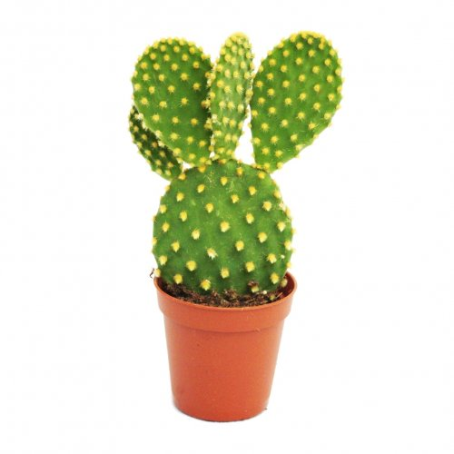 opuntia-microdasys-yellow-spined-prickly-pear-cactus-in-85-cm-pot