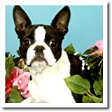 ht_893_3 Dogs Boston Terrier - Emma Boston Terrier - Iron on Heat Transfers - 10x10 Iron on Heat Transfer for White Material