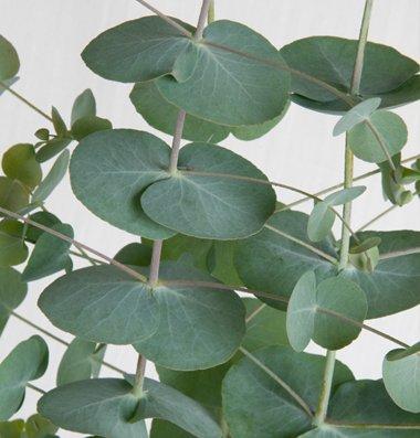 Davids-Garden-Seeds-Flower-Eucalyptus-Silver-Dollar-D1509A-Green-50-Open-Pollinated-Seeds