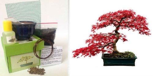 Japanese Maple Bonsai Kit -CERAMIC Pot/Seeds/Soil/Liquid Fertilizer/Training Wire/Drainage whole cover/Extra Seeds/Gift Tag