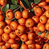 Pyracantha 'Orange Glow' 3 Litre Pot Size
