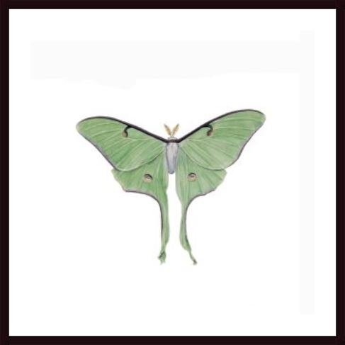 Luna Moth, framed black wood, white matte (Luna Moth Framed compare prices)