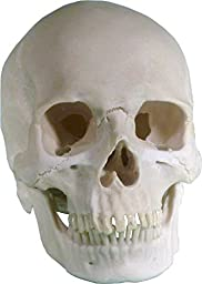 Life Size Human Skull: Real Replica Reproduction - American origin by Nose Desserts