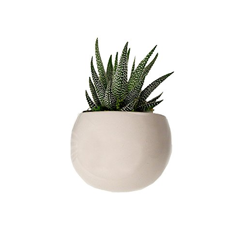 LiveTrends Life Magnetic - Living Succulent Decoration (White) (Air Plant In Pot compare prices)