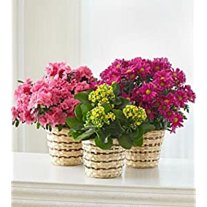Amazon.com: SAME DAY FLOWER DELIVERY Blooming Plant for Sympathy ...