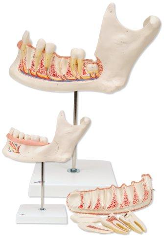 3B Scientific Half Lower Jaw