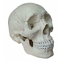 Wellden Product Human Medical Anatomical Adult Osteopathic Skull Model, 22-Part Bone Color
