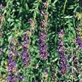 Herb Seeds - Hyssop - 750 Seeds