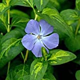 Vinca Major Maculata aka Greater Periwinkle Shrub
