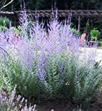 Russian Sage Little Spire Perennial Plants (1 order contains 2 Potted Plants)