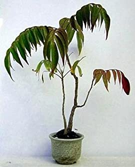 Fragrant Sumac 20 Seeds - Rhus aromatica - Shrub/Tree