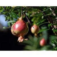 Dwarf Pomegranate Plant - Punica - Bonsai/Houseplant/Outdoors - Edible - 4