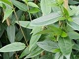 Immergrünes Geissblatt - Lonicera henryi - Kletterpflanze von Native Plants