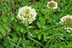 1# of White Clover Seed (Cover Crop,...