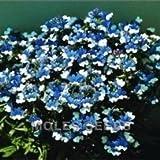 Nemesia - K.L.M. - 50 Seeds