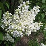 Syringa - Lilac Tree 'Madame Lemoine' in a 3 litre pot