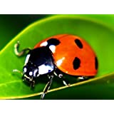 1500 Live Ladybugs - Guaranteed Live Delivery! + Good Bug Nectar
