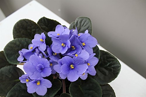 light-blue-african-violet-ideal-houseplant-gift-pack-and-fast-delivery-full-of-flowers-and-will-last