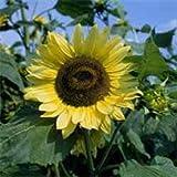 Outsidepride Sunflower Lemon Queen - 1 LB