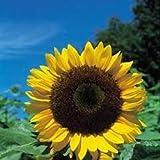 Herb Seeds - Sunflower - 50 Seeds