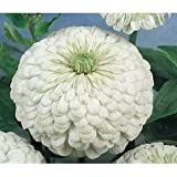 Indian Gardening Zinnia Polar Bear Flower Seeds 20 Seeds