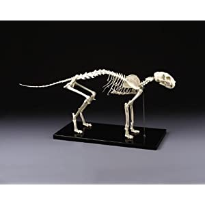 Feline Skeleton Model Deluxe Large Size Cat: Animal Anatomical Models