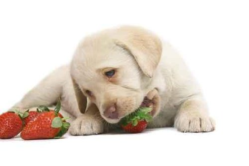 Puppy  a Strawberry. - 36