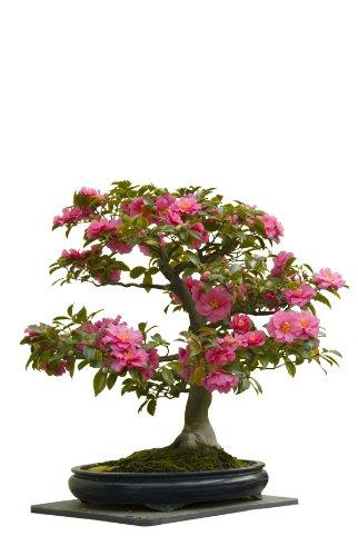 seedeo-japanische-kamelie-camelia-japonica-zimmer-bonsai-rosabluhend-8-samen