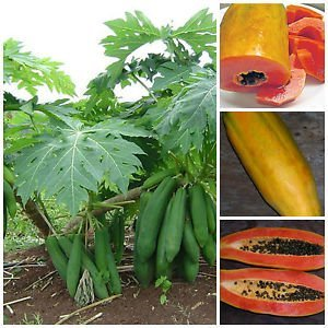 papaya tree planting instructions