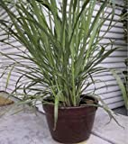 Lawn & Patio - Lemon Grass 50 Seeds - Cymbopogon - Herb