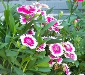 shelled-warriors-dianthus-sweet-william-carnation-pink-50-seed-grow-and-feed-your-tortoise