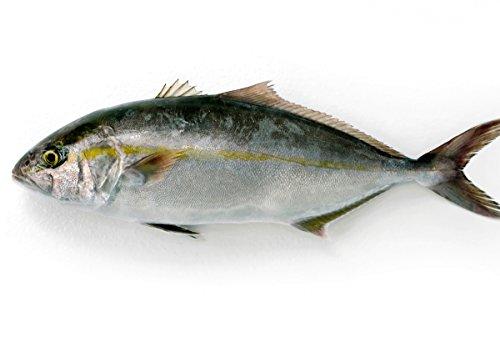 築地魚群 養殖 カンパチ1尾 国産 3-3.5kg前後サイズ