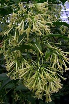Night Blooming Jasmine Plant - Cestrum nocturnum - 4