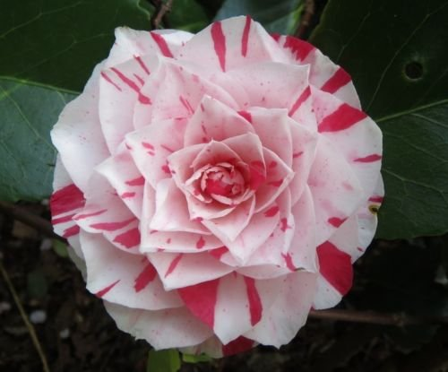 Camellia Japonica Japanese Camellia Tea Flower Rose Of Winter Mix 10 Seeds