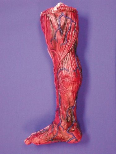 Skinned right Leg – Halloween Prop