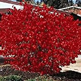 50 BURNING BUSH Kochia Scoparia Shrub Seeds
