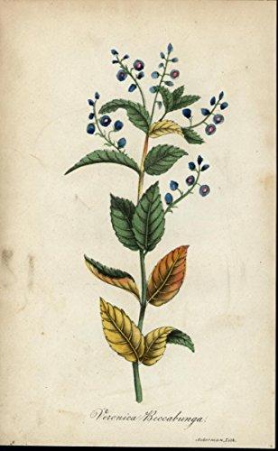 Veronica Beccabunga ca. 1850's lovely antique hand color Flower Botanical print