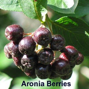 'Viking' Black Chokeberry Plant - Aronia - Shrub/Bonsai/Wine - 4