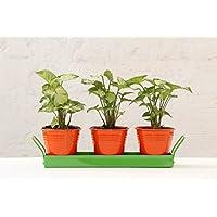 Green Gardenia Table Top Orange Pots With Green Tray