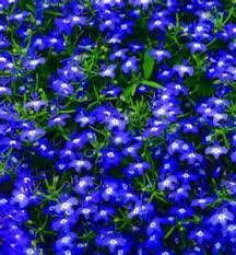 the-dirty-gardener-lobelia-erinus-half-moon-flowers-5000-seeds