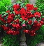 Begonia Pendula Red Bulbs (3 in pack)