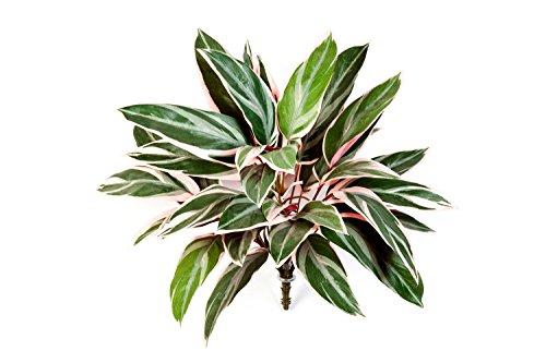 deko-cordyline-fruticosa-mit-36-blattern-grun-rosa-50-cm-kunstliche-pflanze-kunstlischer-busch-artpl