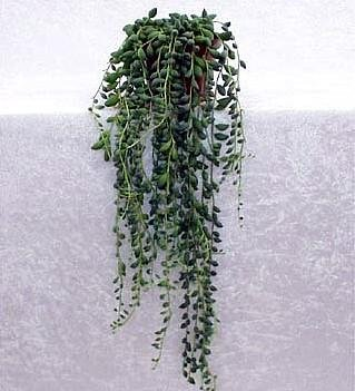 Buy String of Tears Plant-Senecio herreianus -4″Hanging Pot